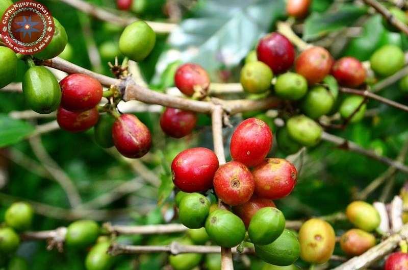 Mùi của cà phê rang được hình thành từ lúc còn là hạt cà phê trên cây.
