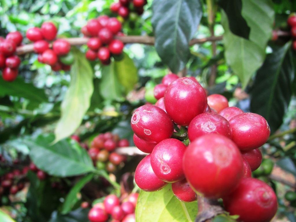 Cafe Arabica Sơn La