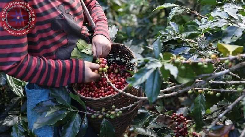 cafe nguyên chất thu hái bằng tay